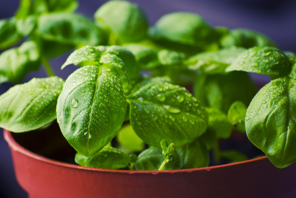 basil herb garden grow at home spring best