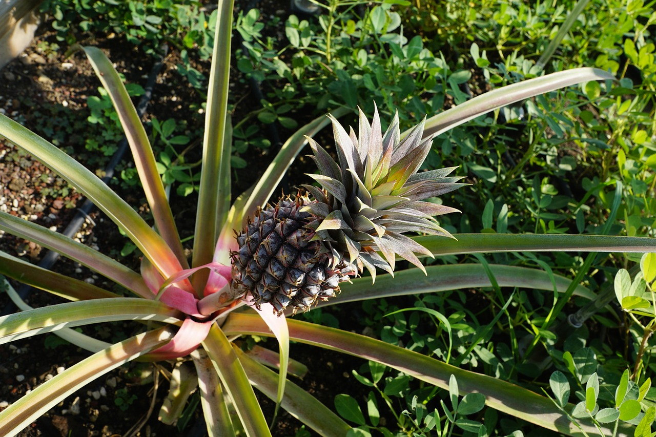 5 foods that grow in funky ways back to the roots blog for Pineapple in the ground