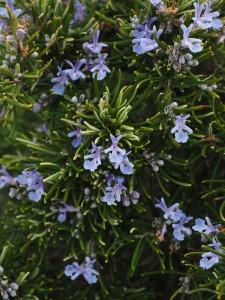 rosemary-1090415_1920